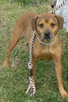 Labrador Retriever Mix Dog for adoption in Silver Spring, Maryland - Sheba