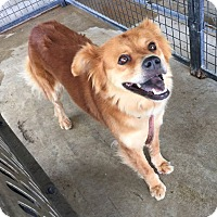 Chow Chow/Shepherd (Unknown Type) Mix Dog for adoption in Lewisburg, Tennessee - Allegiance AKA Bella
