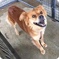 Adopt A Pet :: Allegiance AKA Bella - Lewisburg, TN