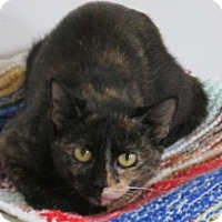 Domestic Shorthair Cat for adoption in Aiken, South Carolina - JANAY