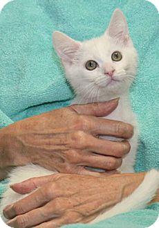 Domestic Shorthair Kitten for adoption in Reston, Virginia - Brandi