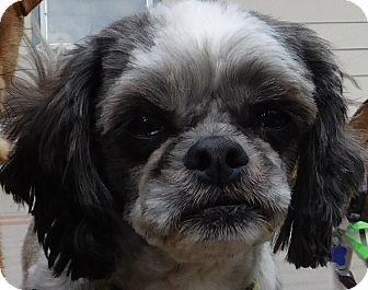 Shih Tzu Dog for adoption in MINNEAPOLIS, Kansas - Christian