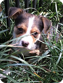 Jack Russell Terrier/Beagle Mix Puppy for adoption in Hagerstown, Maryland - River (ETAA)