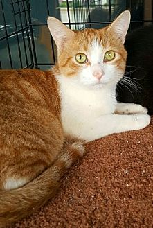 American Shorthair Cat for adoption in Lyons, Illinois - Diego
