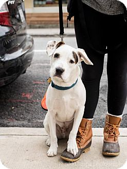 Boxer Mix Dog for adoption in Brooklyn, New York - Mark Darcy