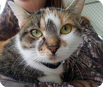 Domestic Shorthair Cat for adoption in Shinnston, West Virginia - Bianca