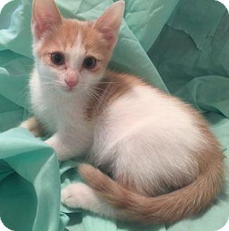 Domestic Shorthair Kitten for adoption in Dallas, Texas - QUINOA