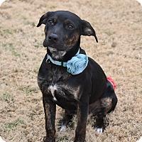 Rottweiler/Labrador Retriever Mix Puppy for adoption in Hagerstown, Maryland - Luna