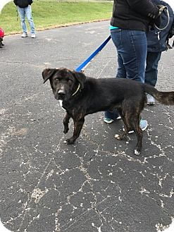 Labrador Retriever Mix Dog for adoption in Willingboro, New Jersey - Mack