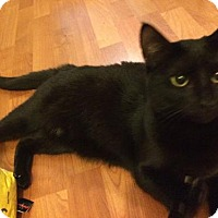 Domestic Shorthair Kitten for adoption in Royal Palm Beach, Florida - Majesty
