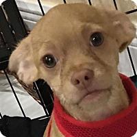 Terrier (Unknown Type, Medium) Mix Puppy for adoption in Davie, Florida - Gasper