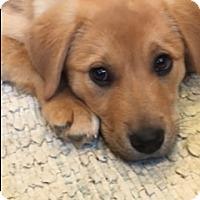 Adopt A Pet :: Sienna-adoption pending - Schaumburg, IL