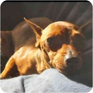 Miniature Pinscher Dog for adoption in Phoenix, Arizona - Gidget
