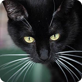 Domestic Shorthair Cat for adoption in Denver, Colorado - Dixie