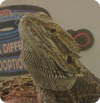 Lizard for adoption in El Cajon, California - Buffy