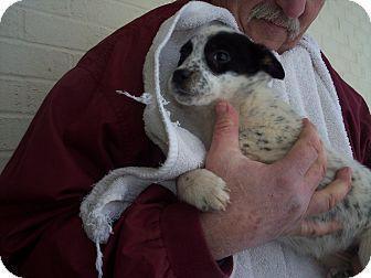 Blue Heeler Mix Puppy for adoption in Germantown, Maryland - Elaida
