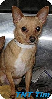 Chihuahua Dog for adoption in Hawk Springs, Wyoming - TNT Tim!