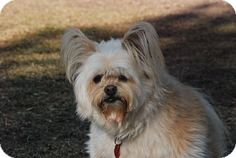 Papillon/Lhasa Apso Mix Dog for adoption in Greensboro, Georgia - Furby