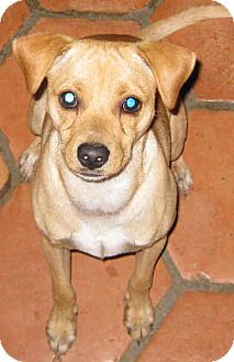 Italian Greyhound/Jack Russell Terrier Mix Dog for adoption in Phoenix, Arizona - PINOCCHIO aka NOCI