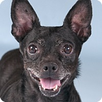 Adopt A Pet :: Blackie - Chicago, IL