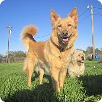 Adopt A Pet :: Sofie - Copperas Cove, TX