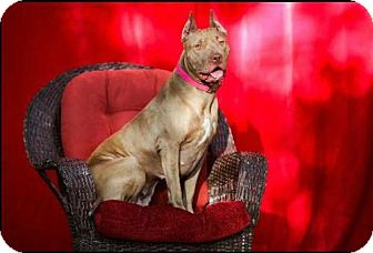 American Pit Bull Terrier Mix Dog for adoption in Tampa, Florida - Cashmere