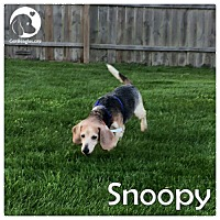 Adopt A Pet :: Snoopy - Pittsburgh, PA