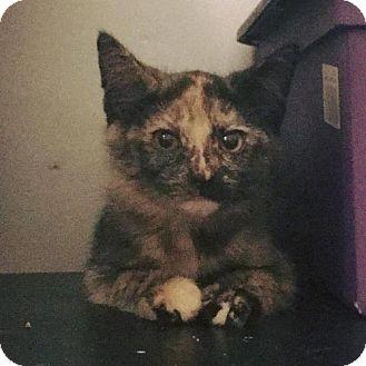 Domestic Shorthair Kitten for adoption in Princeton, Minnesota - Greta