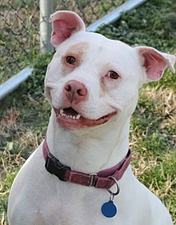 Dogo Argentino/American Bulldog Mix Dog for adoption in Wilmington, Delaware - Harvey