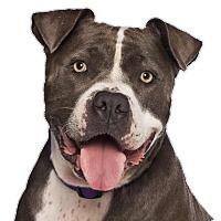 Adopt A Pet :: Delicious Delilah - Los Angeles, CA