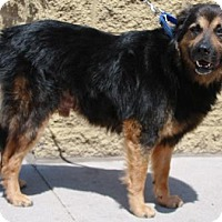 Adopt A Pet :: Bear - Gilbert, AZ