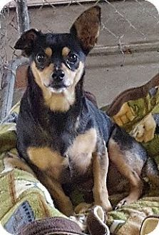 Dachshund/Miniature Pinscher Mix Dog for adoption in Bunnell, Florida - Tiko