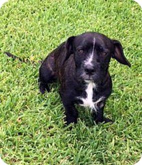 Standard Schnauzer/Dachshund Mix Dog for adoption in Alvin, Texas - Miles Finch