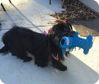 Shih Tzu/Lhasa Apso Mix Dog for adoption in Acworth, Georgia - Beauty