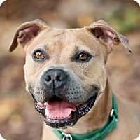 English Bulldog/American Pit Bull Terrier Mix Dog for adoption in Houston, Texas - Cava