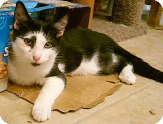 Domestic Shorthair Kitten for adoption in North Highlands, California - Panzer