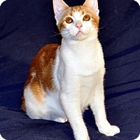 Manx Cat for adoption in Liberty, North Carolina - Shae