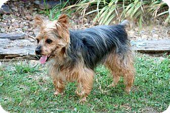 Yorkie, Yorkshire Terrier Dog for adoption in Washington, D.C. - PEANUT