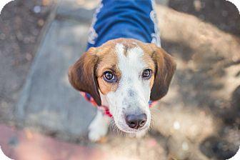 Hound (Unknown Type) Mix Puppy for adoption in Washington, D.C. - Harvey