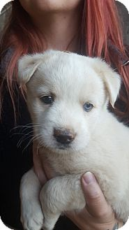 Husky/Labrador Retriever Mix Puppy for adoption in Glastonbury, Connecticut - CRUZ~adopted!
