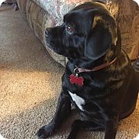 Adopt A Pet :: Diamond- Adoption Pending - Fairfield, OH