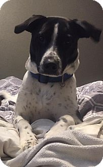 Pointer/Dalmatian Mix Puppy for adoption in waterbury, Connecticut - Kampbell