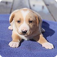 Adopt A Pet :: Buttercup's Bennett - Chantilly, VA
