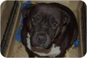 American Staffordshire Terrier Mix Dog for adoption in SLC, Utah - Sandy