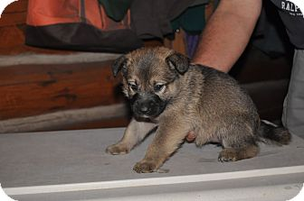 German Shepherd Dog Mix Puppy for adoption in Hamilton, Montana - Abby