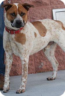 Australian Cattle Dog Mix Dog for adoption in Palmdale, California - Zeus
