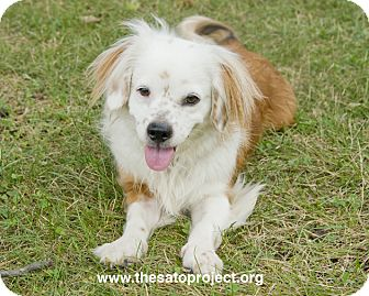 Cavalier King Charles Spaniel/King Charles Spaniel Mix Dog for adoption in Brooklyn, New York - Hemsworth