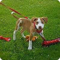 Bull Terrier/American Staffordshire Terrier Mix Puppy for adoption in Los Angeles, California - Adorable Theo-VIDEO