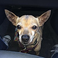 Chihuahua/Chihuahua Mix Dog for adoption in North Hollywood, California - CJ