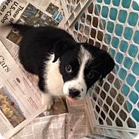 Adopt A Pet :: ROSE - Higley, AZ